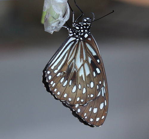 Here is a butterfly, just emerging from chrysalis, the intermediate stage between caterpillar and butterfly.